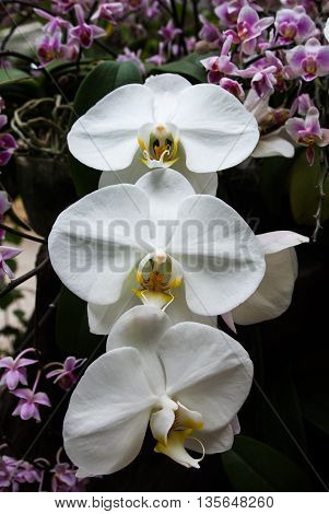 Beautiful white orchids in a garden, Thailand.