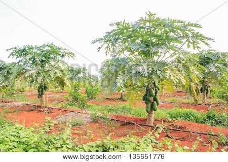 Papaya plantations. Fresh ripe papaya fruits in farm