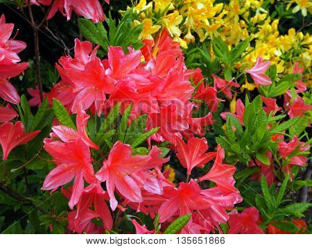 pink Azalea  flowers in bloom in summer