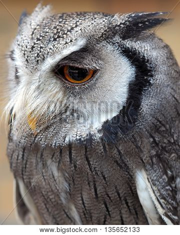 Scops Owl showing plumage and distinctive markings