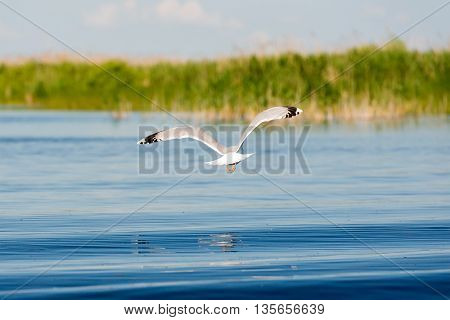 Caspian gulls image taken in Danube Delta Romania