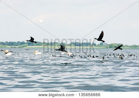 Pelicans and cormorants flocks flying in the Danube Delta Romania