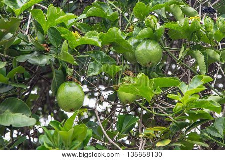 Close up of passion fruit on the vine.