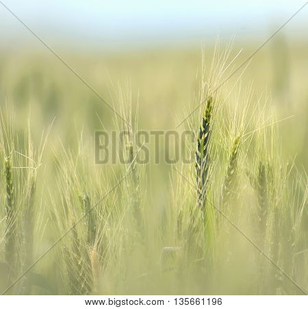 Wheat field in early summer at sunset
