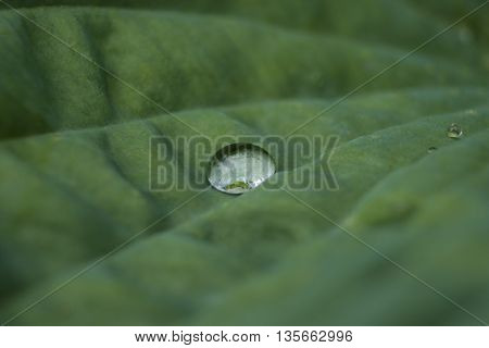 Large green Hosta plant leaf with focus on raindrop