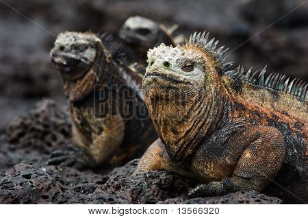Portrait Of The Marine Iguanas With Relatives.