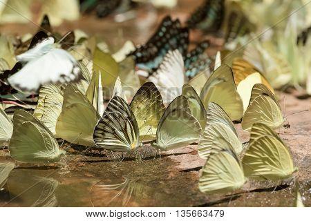 Diversity of butterfly speciesButterfly eating Salt licks on ground at Pangsida national park SakaeoThailand