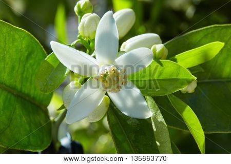 Orange blossom flowers in a tree in mediterranean Spain