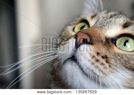 Closeup of portrait a cute domestic cat