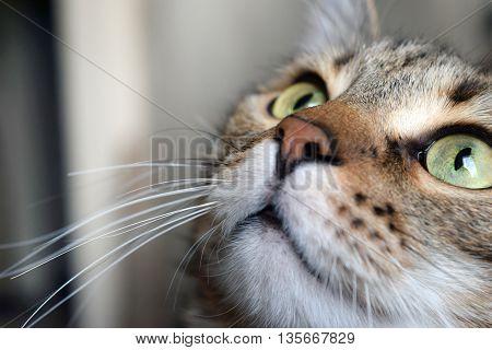 Closeup of portrait a cute domestic cat