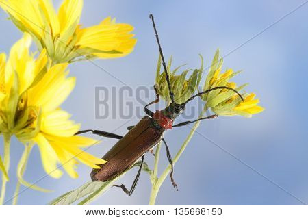 Closeup Longhorn beetle (Aromia moschata) on yellow flower against blue sky