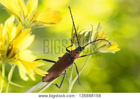 Closeup Longhorn beetle (Aromia moschata) on yellow flower on yellow-green background