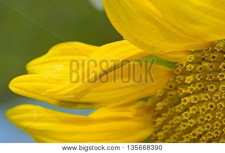 Details of sunflower and dew drops, close up