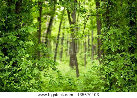 deep green forest with fresh lush foliage leaves and many trees on natural environment background
