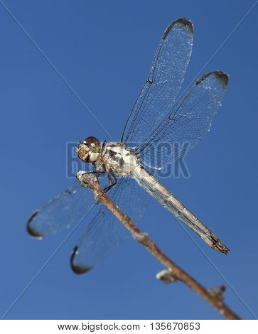 Dragonfly on a stick with its wings spread and sky behind