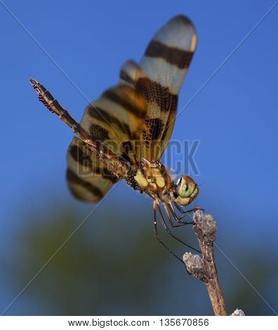 Bright orange dragonfly carrying eggs resting on a stick
