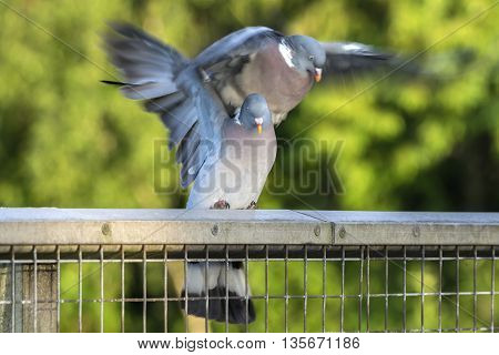 Two wood pigeons mating on a metal fence in the forest
