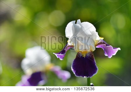 Iris flower on a natural green grass background.Bearded iris. The sort of