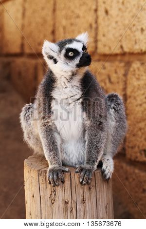 Ring-tailed lemur monkey with black nose looking