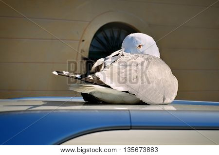 Seagull hidden beak sitting on roof of car and watching