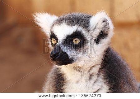 Lemurs monkey (Lemur catta) with black nose loojing