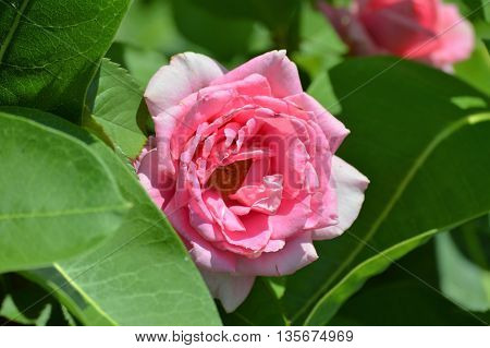 A pink Rose blooming in the garden