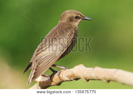 portrait young black starling sits on a branch, next generation, summer, green background