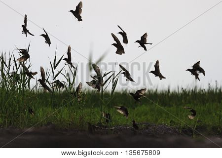silhouettes flying starlings who sit on the ground, the birds sit on watering
