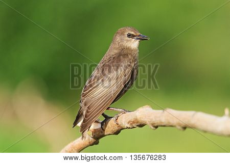 young black starling sits on a branch, next generation, summer, green background