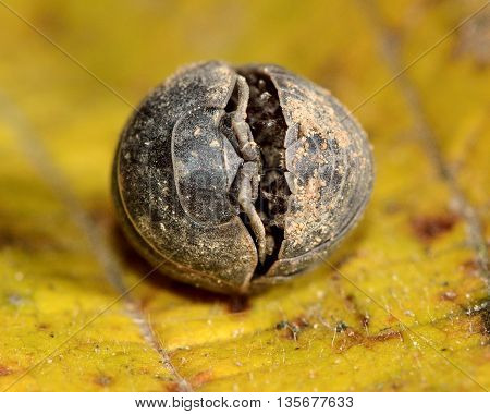 Armadillidium depressum woodlouse curled up in ball. Terrestrial crustacean in a defensive ball in the familiy Armadillidiidae