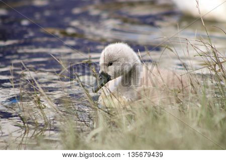 A Mute Swan cygnet behind a patch of grass