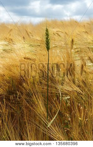 Leadership concept using young strong spike in the middle of barley field