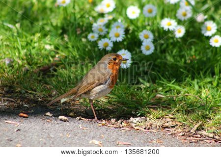 A Robin stood in front of a patch of daisies
