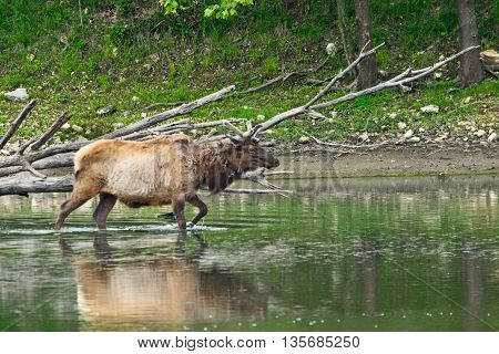 An elk walking into water in the wilds