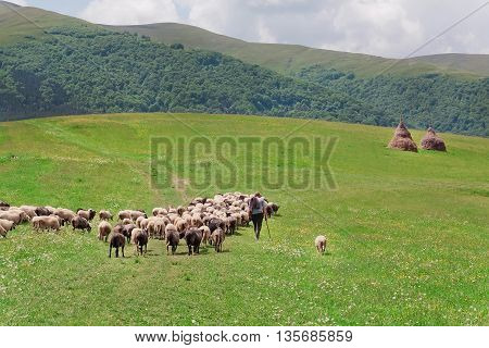 Shepherd with his sheep on pasture under great green hilly range of Carpathian mountains. Rural landscape with farmer