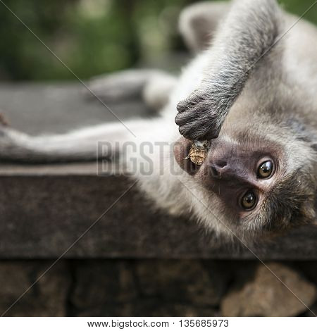 Funny monkey eating a banana with huge eyes.