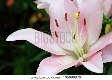 Single pink Lilium Lexington Flower in full bloom
