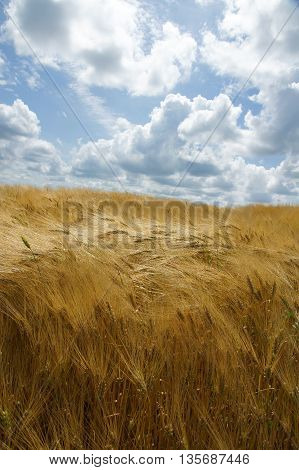Waves on a golden barley field are inflated by the wind