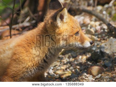 Fox Puppy Close Up