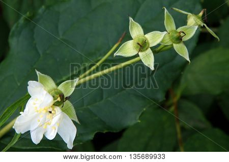 Flowers of an English dogwood (Philadelphus coronaries) finish blooming