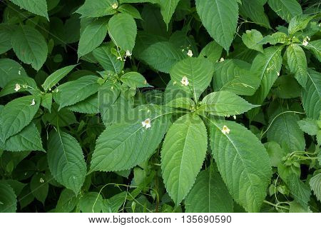 Green herbal shade-requiring annual weeds with small flowers in summer