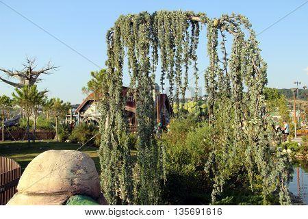 Conifer in Sochi Park in Russian. conifer plant.