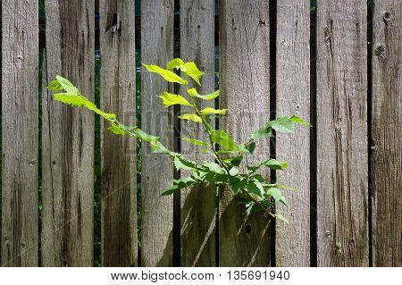 Young tree branch penetrated between the fence boards and broke free as the concept of liberation