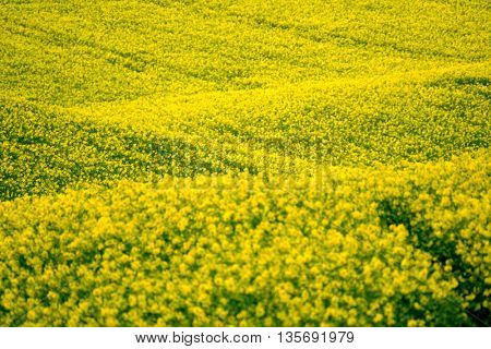 Yellow rape hills in South Moravia, Czech Republic