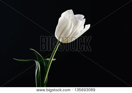 Single White Tulip On A Black Background. Horizontal. Space For Text