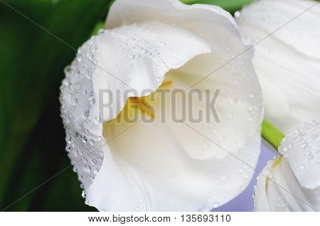 close-up photo of white tulip on a full background horizontal image