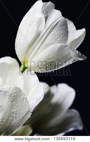 tinted image close-up bouquet of white tulips with water drops on a dark background vertical image