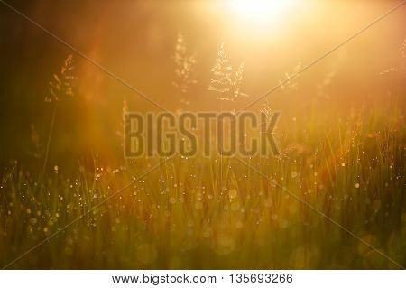 Wild grass in sunrays at sunrise light