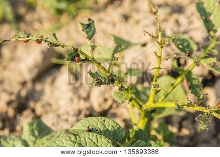 Eaten Leaves Of Potato By Larva Colorado Potato Beetle (leptinotarsa Decemlineata).