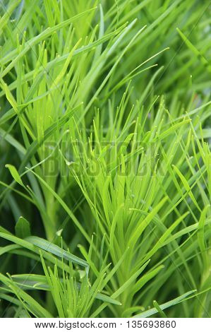 Green grass, weeds growing in the garden of the beam. close-up.